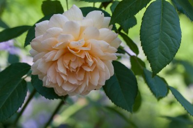 Rose at Filoli_6