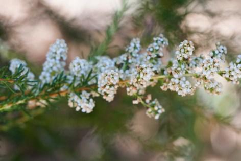 summer blooming evergreen