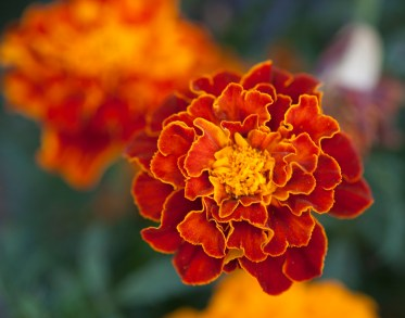 first-of-fall2016-marigold