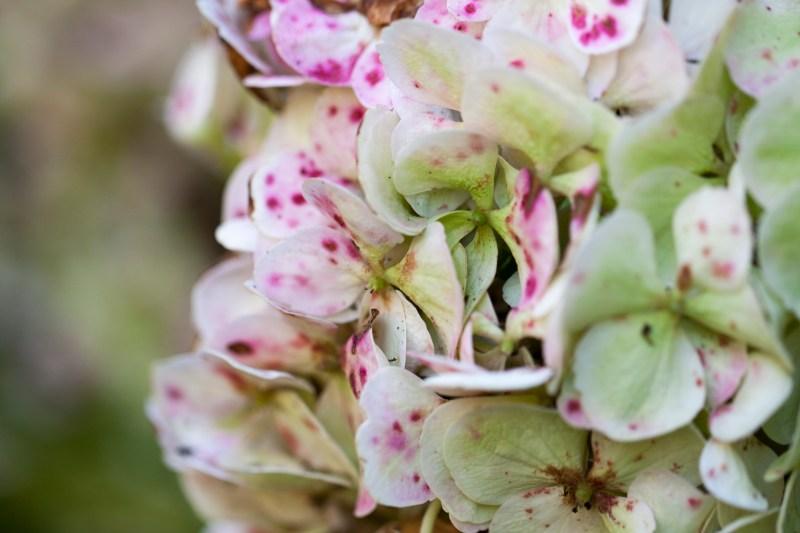 hydrangea-green-pink-spots