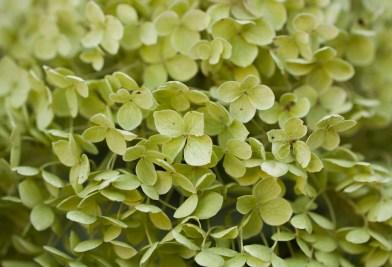 hydrangea-green