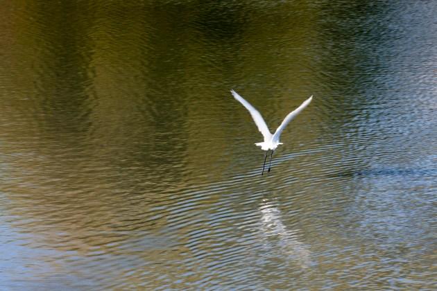 egret-fly-away