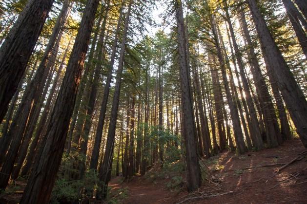 161124-wunderlich-redwood-stand