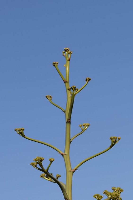 agave-stalk