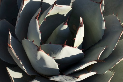 chocolate-tipped-agave