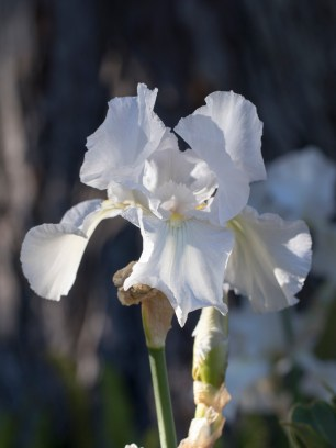 031317white iris shadow and sun