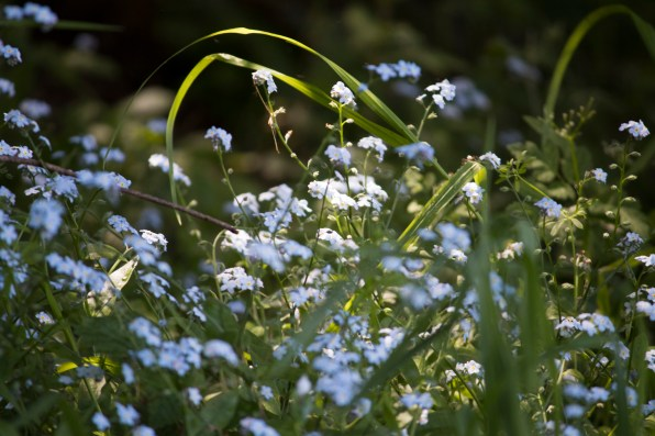 042917stinson forget me not