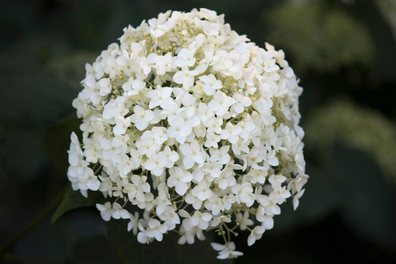 053117hydrangea white ball