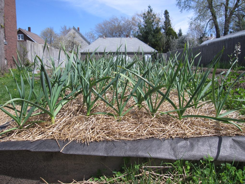 Garlic is growing nicely!
