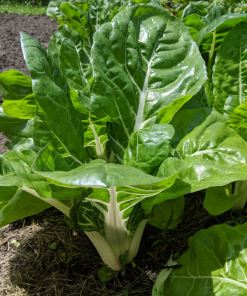 which and green swiss chard plant in a field
