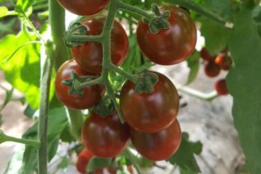 Madera Tomato