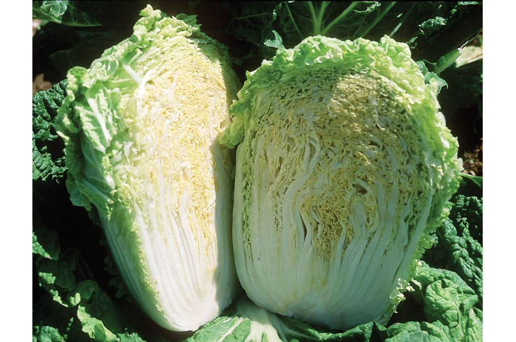 Minuet Chinese Cabbage Image