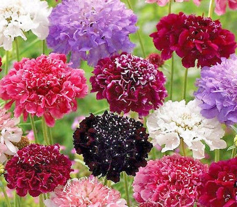 (Sorry, Sold Out) Scabiosa Pincushion Mix Image
