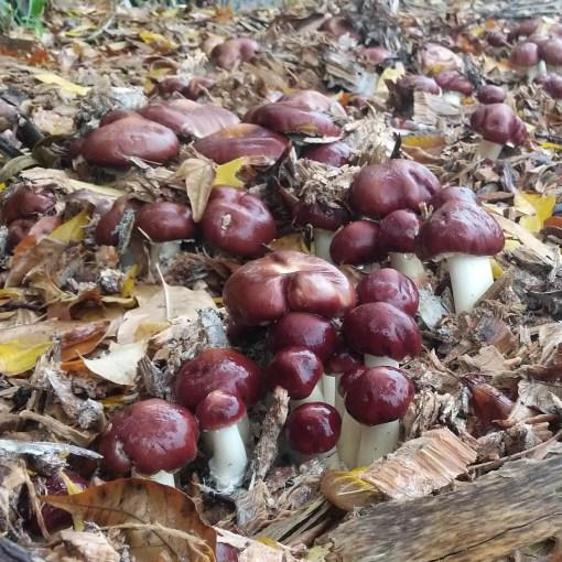 wine cap mushrooms