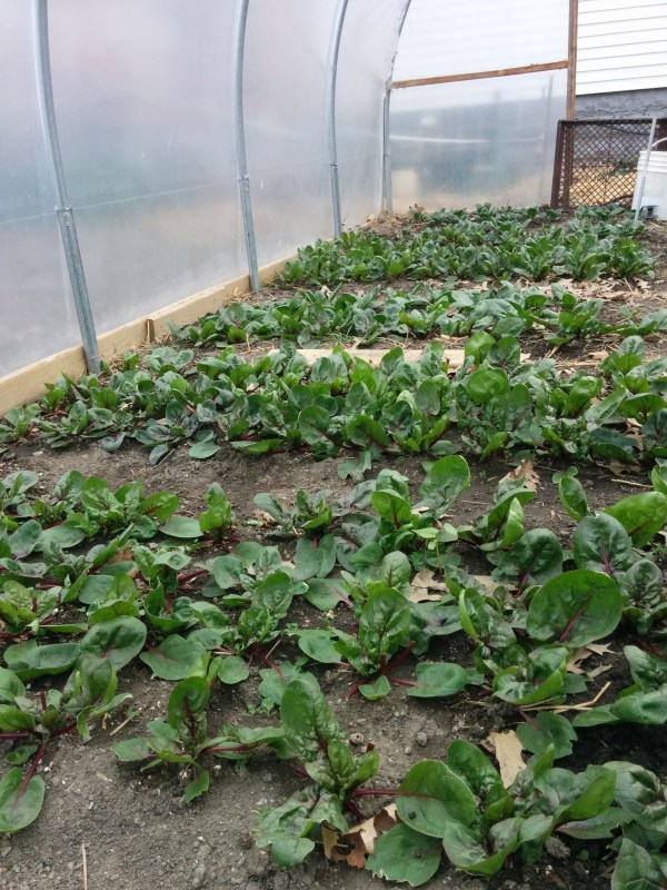 Spinach in the hoop house transplanted late March