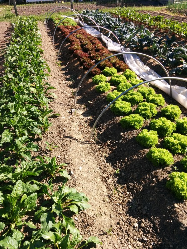 Bed of Salanova ready for harvest
