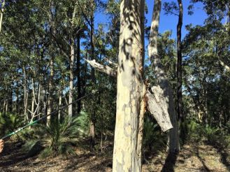 Spotted gum bark swallowing a tree branch trapped in its fork
