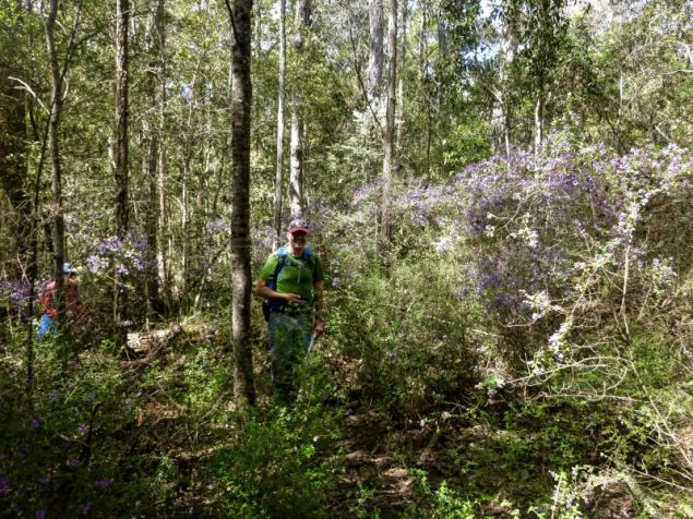 Rob navigates through the mint bush (Prostanthera sp)