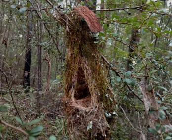 Scrub wren nest on track