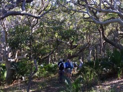 Track meanders through fascinating twisted spotted gum forest
