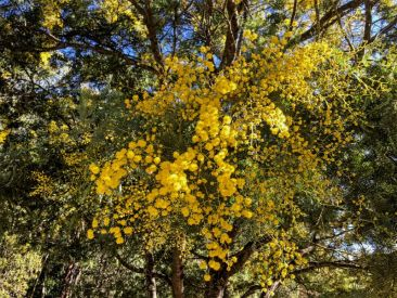 Rare Brogo Wattle (Acacia blayana) coming into bloom