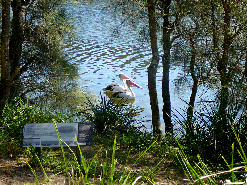 Pelicans hoping to share in the catch near a fisherman on Tabourie Creek.