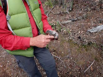 Ian's knowledge is not confined to trees and the forest as he points our the features which identify this rat.