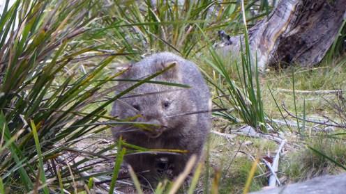 Wombat encounter.