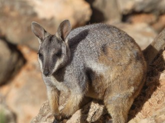 Rock Wallaby.