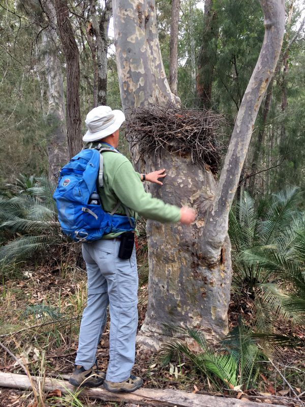 Unoccupied lyrebird nest
