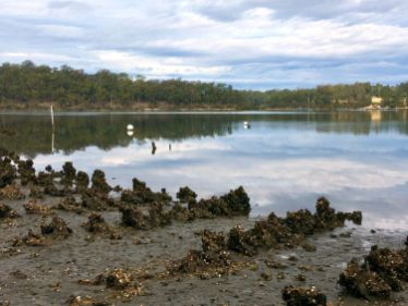 Oyster farming the old way - on rows of discarded steamship ballast