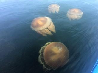 A swarm of Jellyfish.