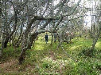 She-oak forest
