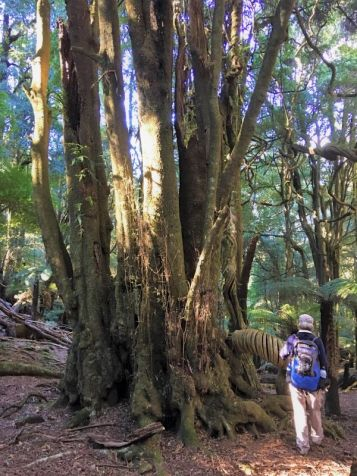 Another huge Pinkwood