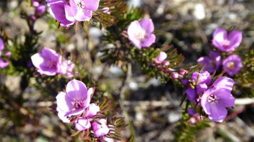 Boronia subulifolia coming into flower on the summit
