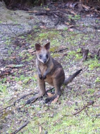 Baby swamp wallaby on Telegraph Track