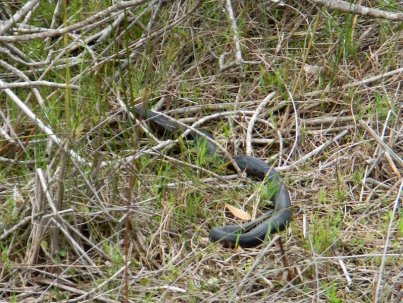 Red Belly black snake making a quick getaway