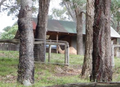 Brian's camel