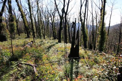 Carpet of silvertop ash seedlings in burnt forest