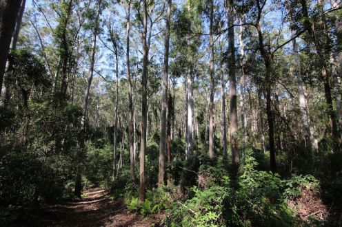 Blue Gum forest at Wrights Creek