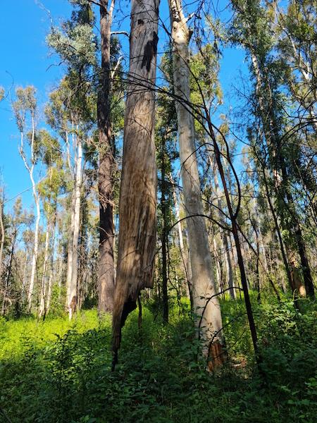 The tree defying gravity