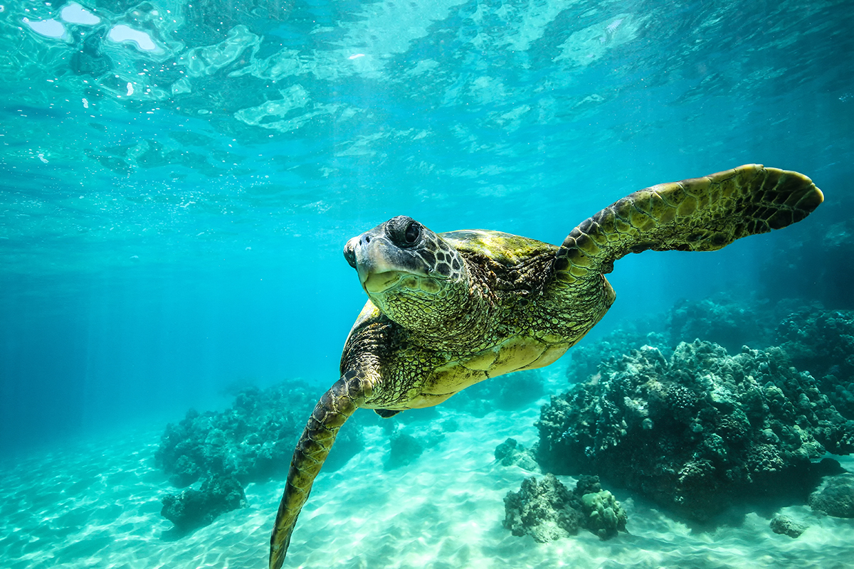 Giant tortoise close-up swims underwater ocean background of corals