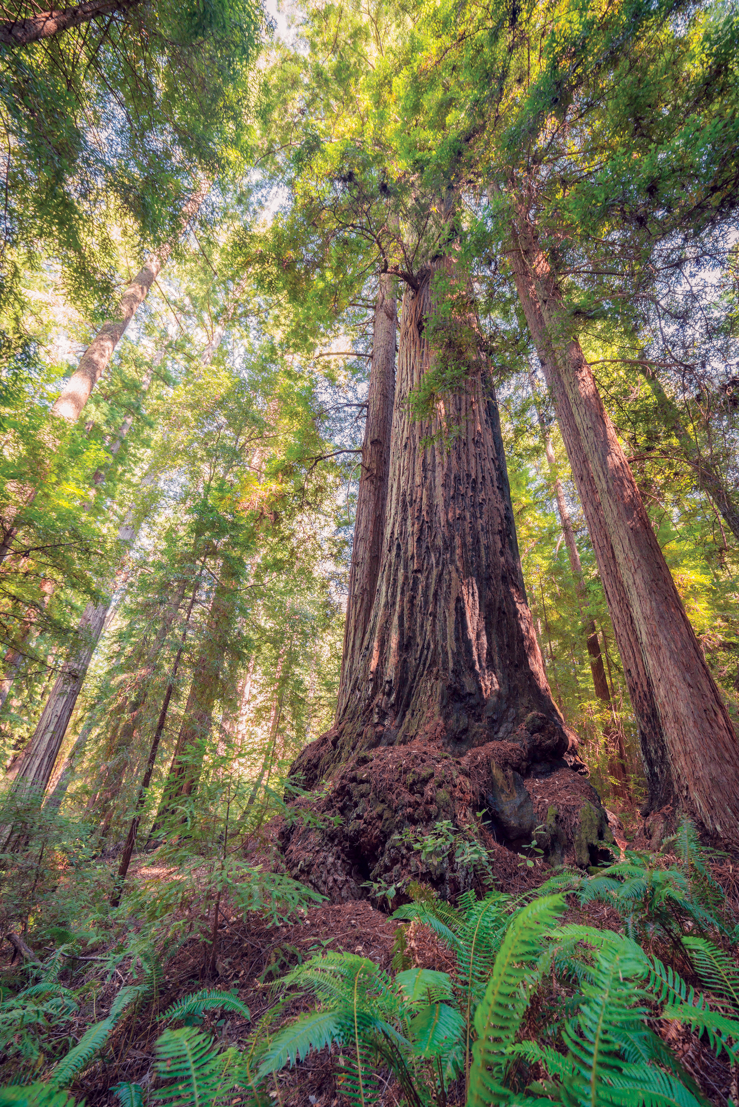 discovery of the oldest redwood in the