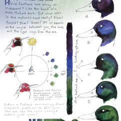 Hummingbird Diagram Of Color Alt Wiring Bay Nature Magazine How A Duck S Feathers Turn Shiny Naturalist Notebook What Is Mallard Head Really
