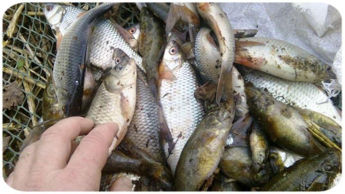 Вот такая рыба в нашем пруду