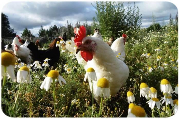 Расклёв цыплят