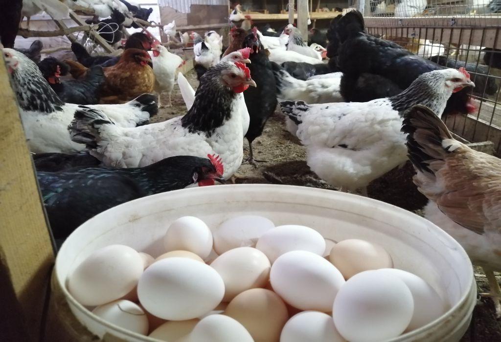 цена куриного яйца