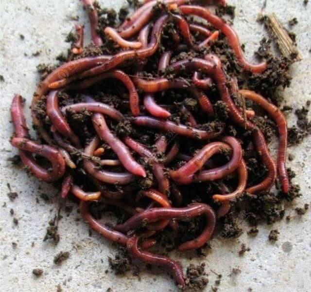 Дождевые черви для кур-несушек