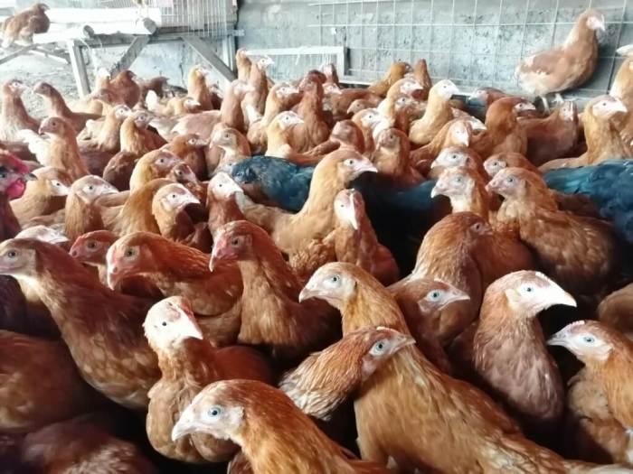 Защитить кур от ястреба