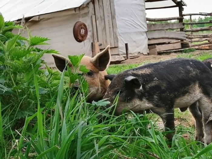 Сныть свиньям давать можно